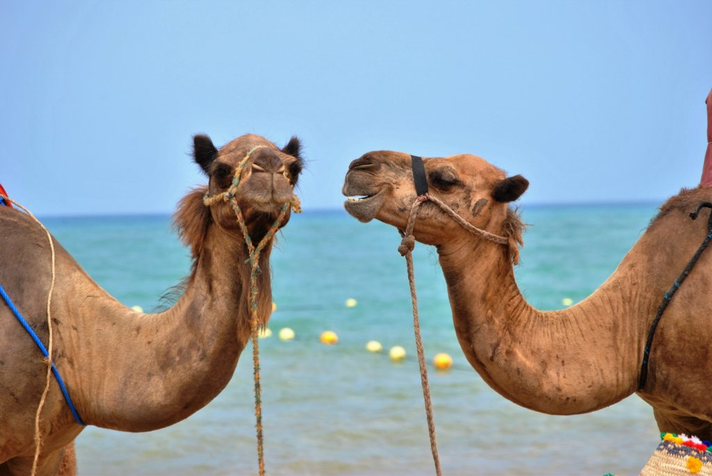 camels talking to each other