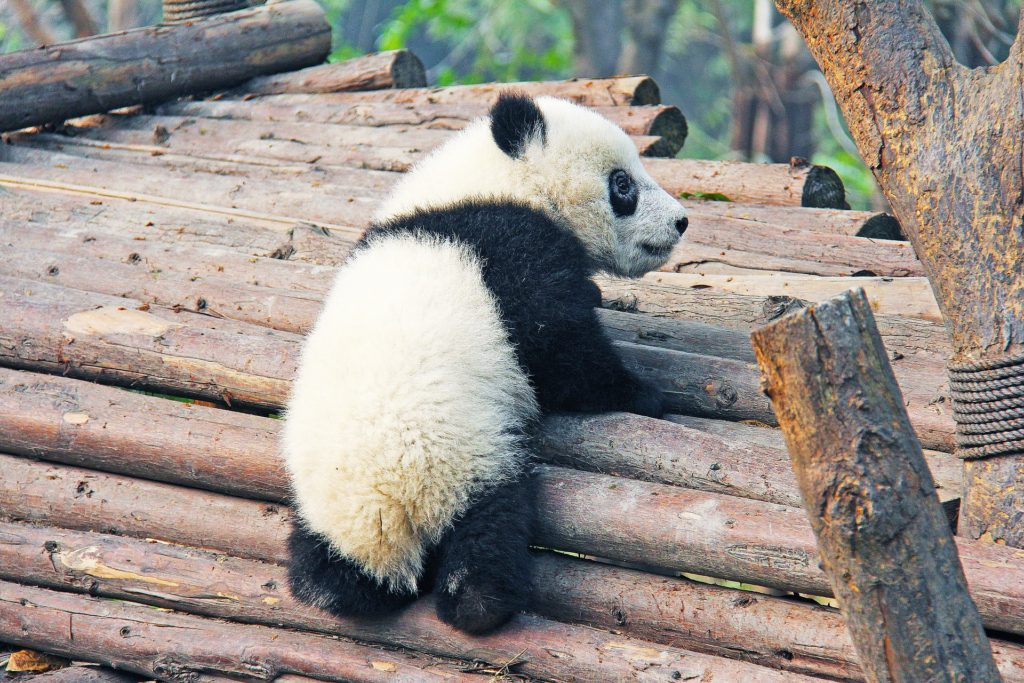 Google's Panda climbing on pile of logs