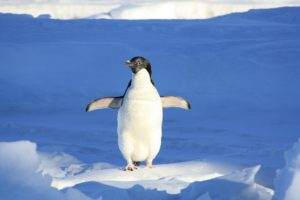 Google Penguin with wings spread standing on ice